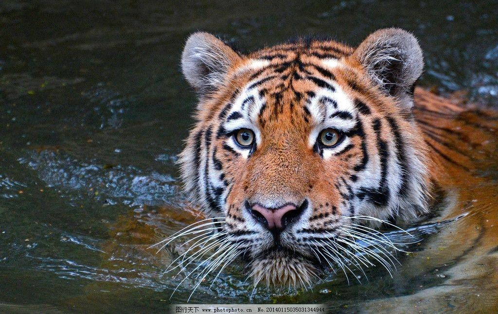 老虎 动物 百兽之王 濒危野生动物 野生 猫科动物 野生动物 生物世界