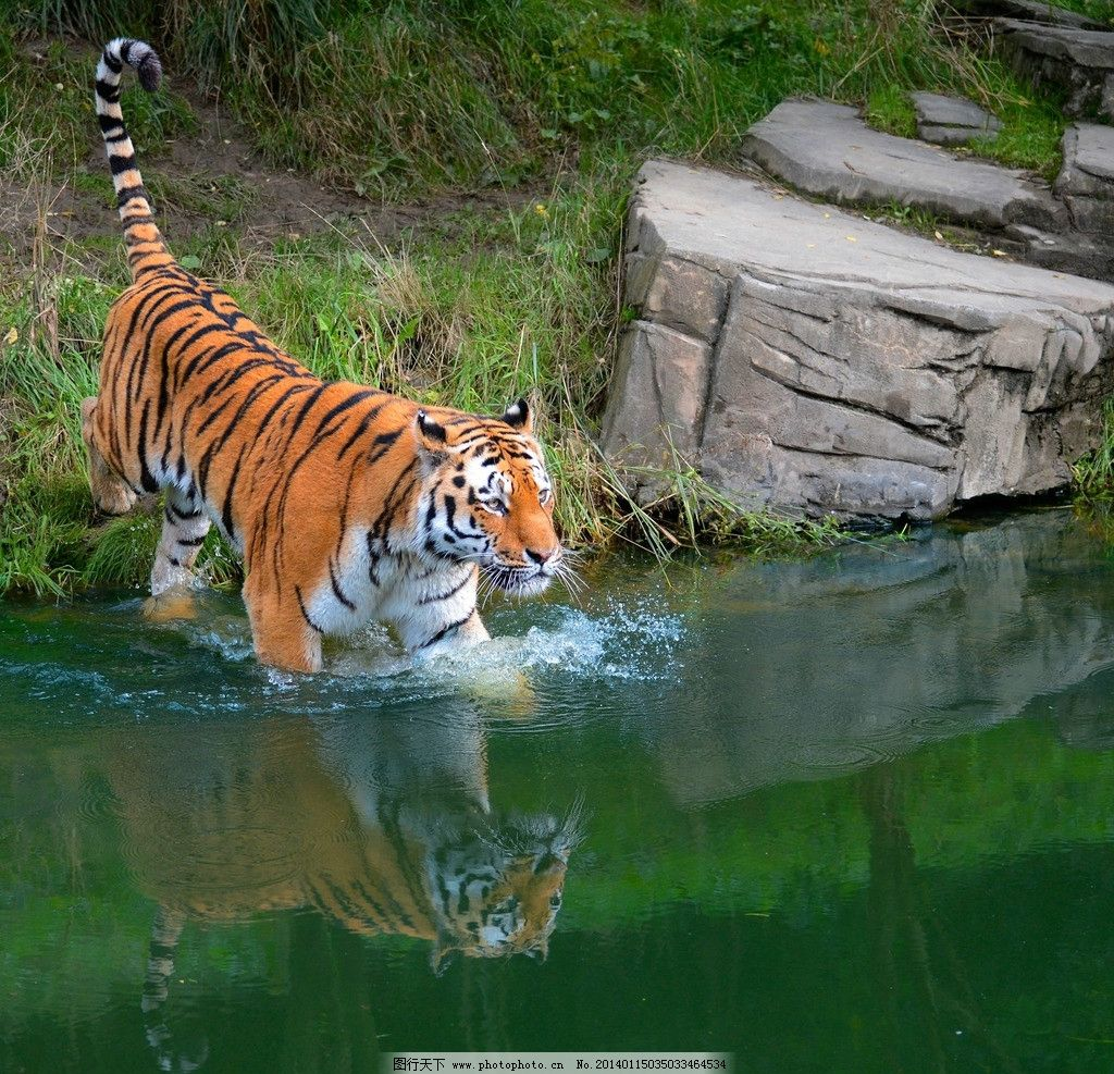 老虎 动物世界 东北虎 动物 濒危野生动物 野生动物 野生 保护动物 非