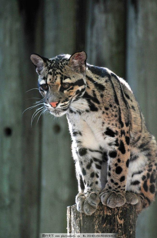 豹子 动物世界 猫科动物 野生动物 保护动物 濒危野生动物 生物世界