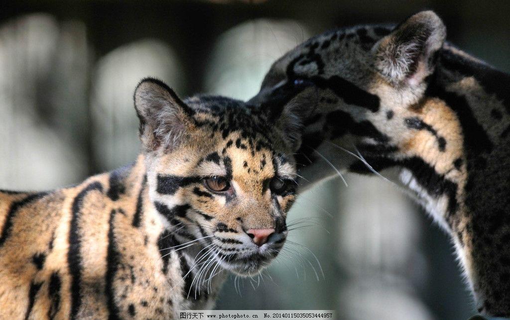 豹子 猫科动物 花豹 濒危野生动物 保护动物 动物世界 非人工驯养