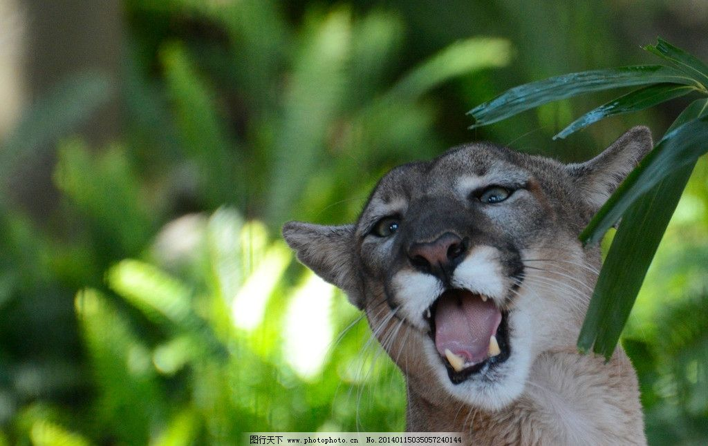 豹子 猫科动物 动物 非人工驯养 濒危野生动物 花豹 保护动物 野生