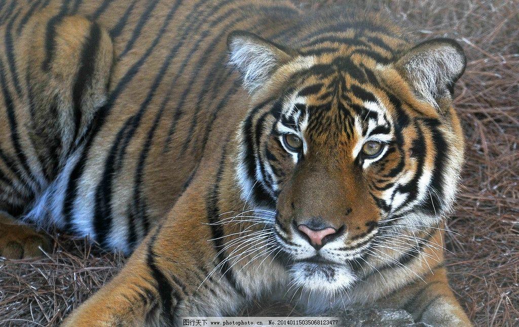 老虎 野生动物 动物世界 东北虎 濒危野生动物 百兽之王 动物 生物
