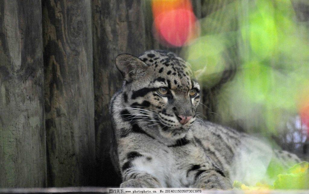 豹子 保护动物 野生 花豹 动物世界 猫科动物 非人工驯养 野生动物 濒