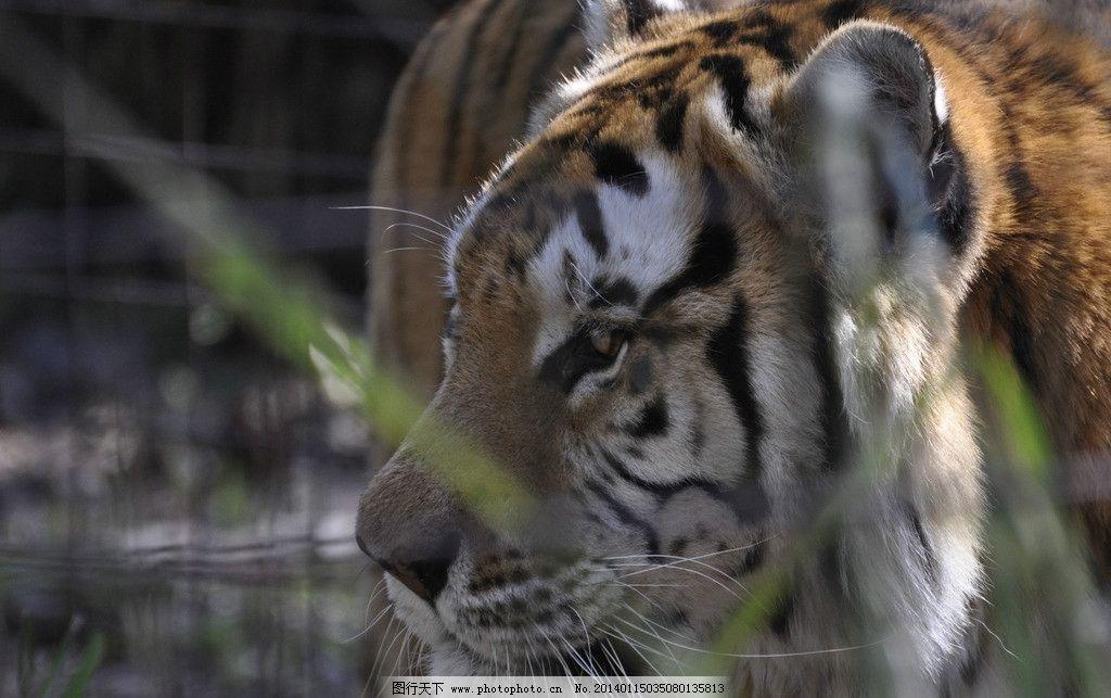 老虎 猫科动物 动物 保护动物 非人工驯养 野生 濒危野生动物 野生