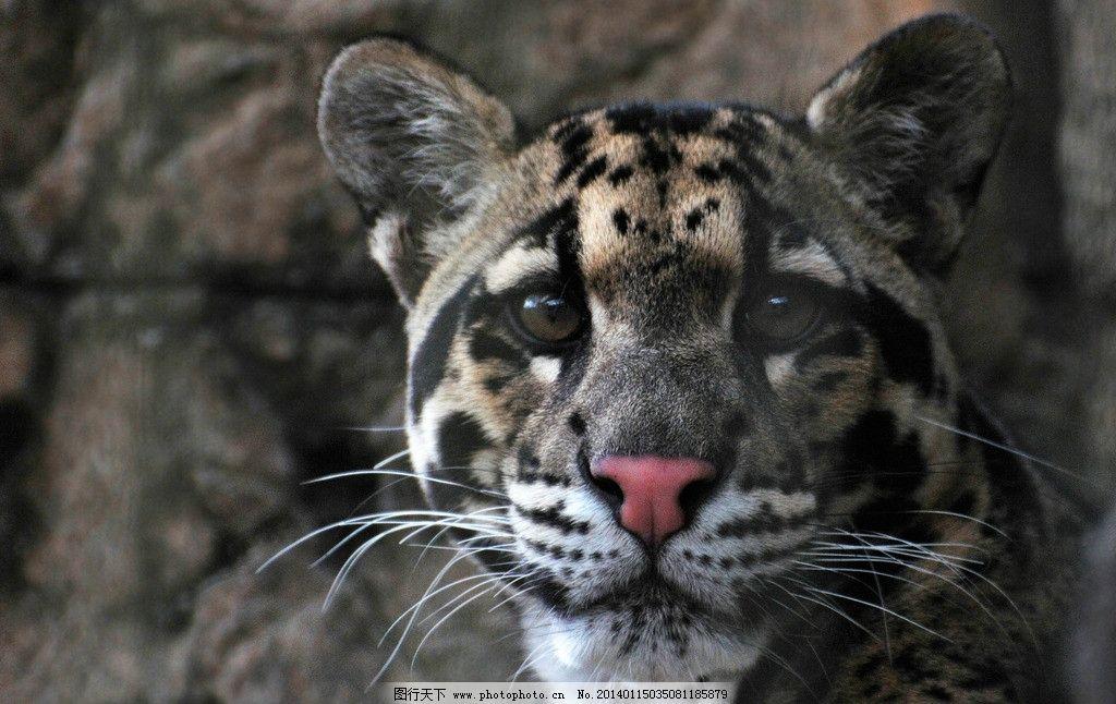 豹子 非人工驯养 野生 猫科动物 动物 动物世界 野生动物 保护动物