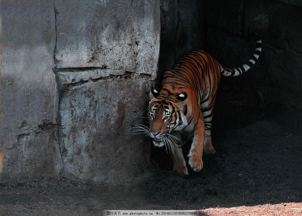 老虎 濒危野生动物 动物世界 保护动物 猫科动物 非人工驯养 野生动物