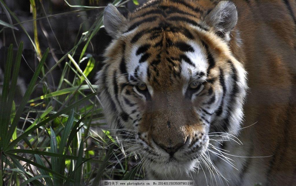 老虎 东北虎 野生 非人工驯养 猫科动物 动物世界 百兽之王 摄影