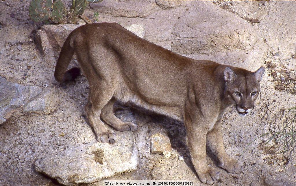 豹子 野生动物 动物世界 濒危野生动物 猫科动物 保护动物 花豹