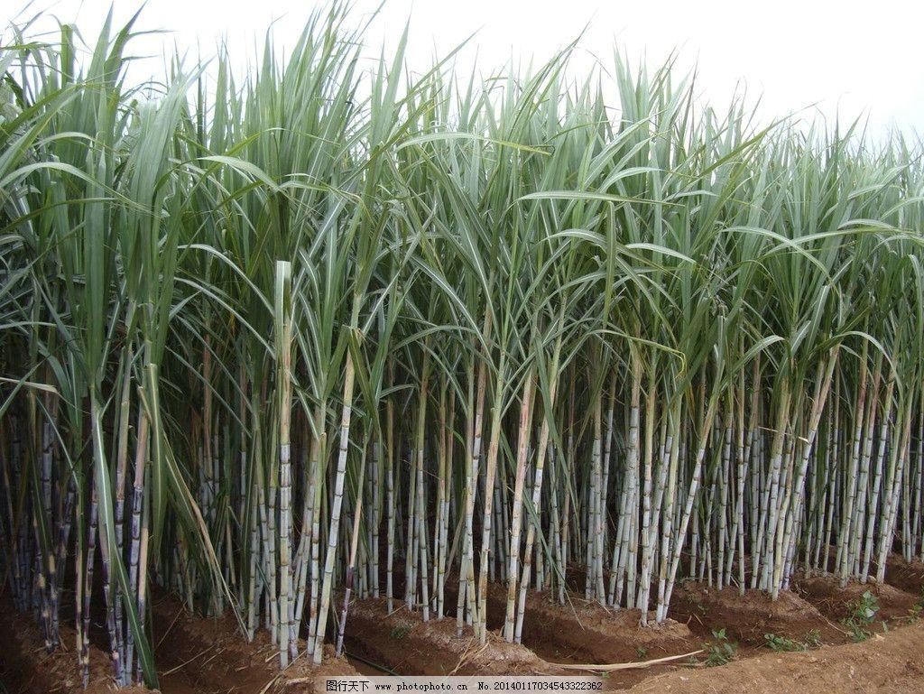 甘蔗 糖蔗 蔗农 肥料 农田 林地 糖 田园风光 自然景观 摄影 150dpi
