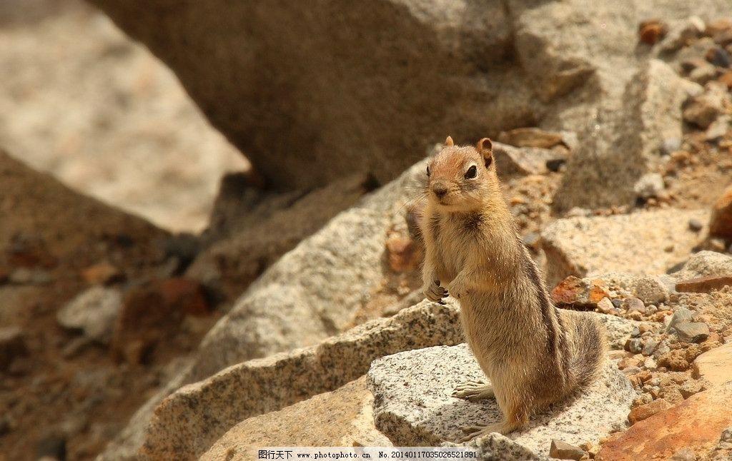 花栗鼠 松鼠 可爱 卖萌 俊俏 岩石 小动物 野生动物 人与自然