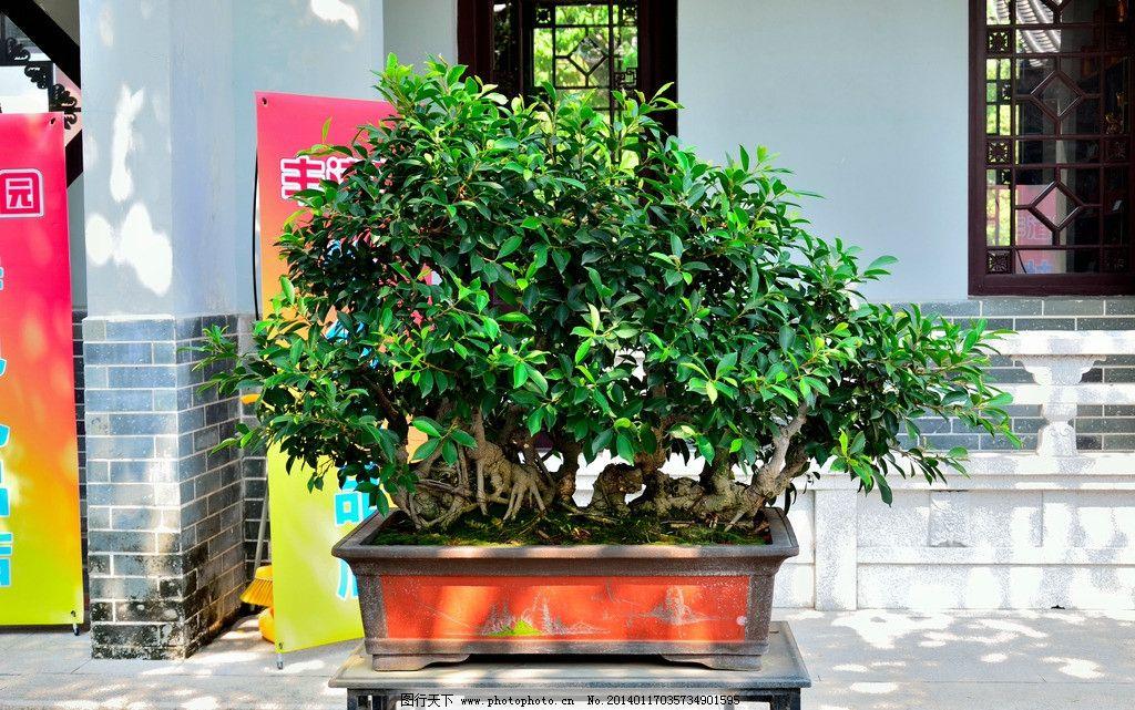 盆景 榕树 小叶榕 惠州西湖 惠州旅游 花草 生物世界 摄影 300dpi jpg