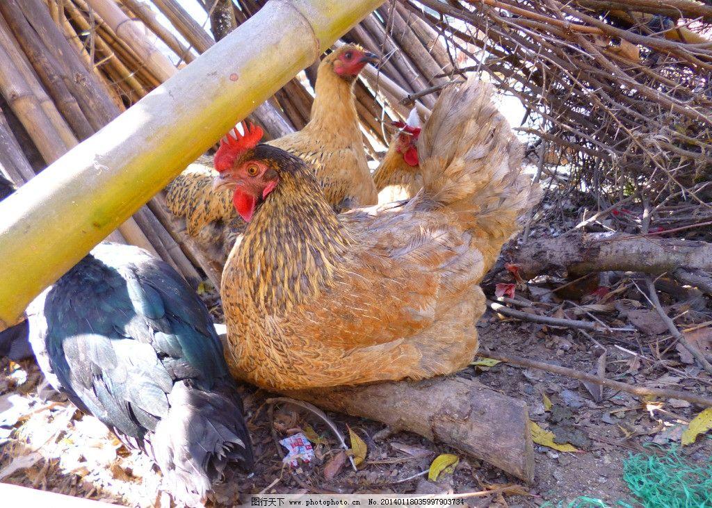 母鸡 动物 家禽 禽类 家养动物 养殖 家禽家畜 生物世界 摄影 180dpi
