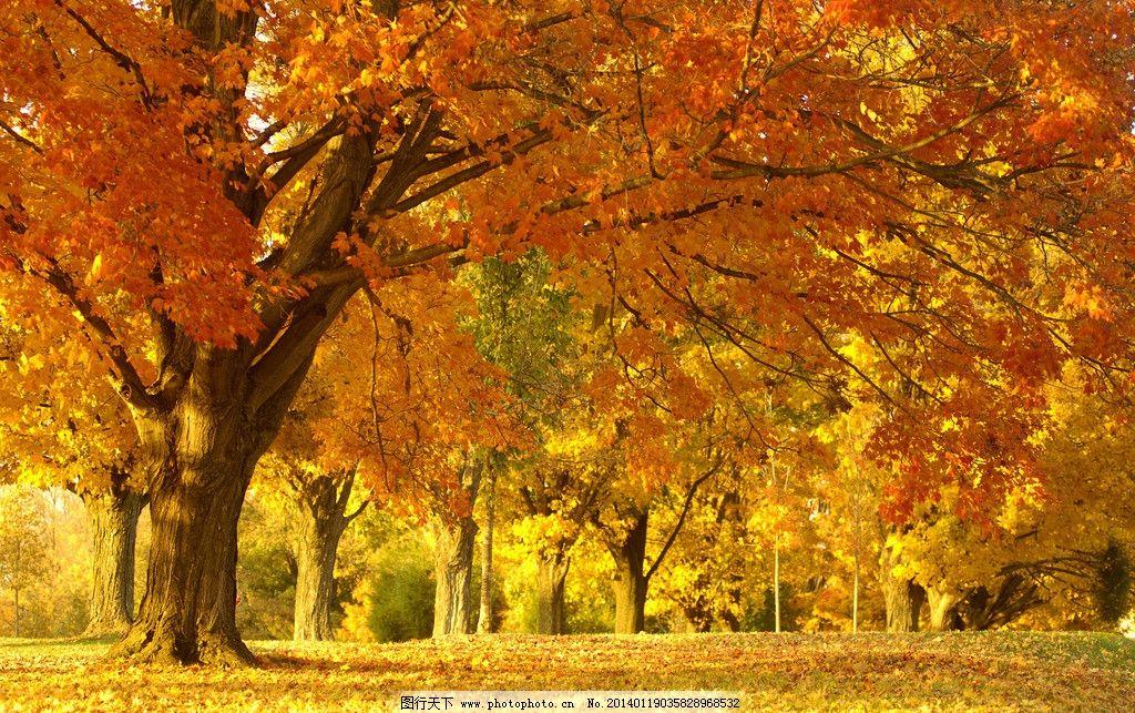 秋天风景 枫树 树林 落叶 秋景 唯美 树木树叶 生物世界 摄影 300dpi