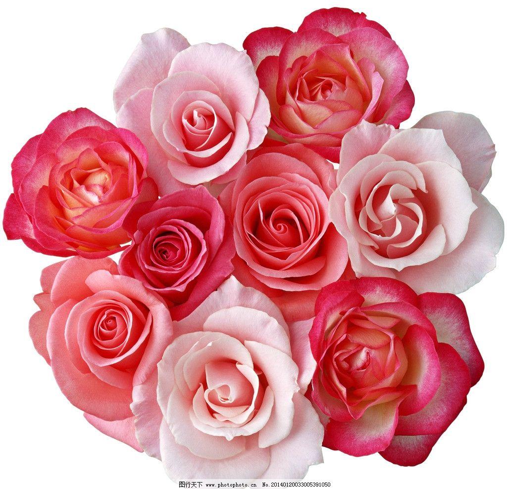 玫瑰花束 粉玫瑰 红玫瑰 玫瑰组合 月季 一束玫瑰 花卉 花朵