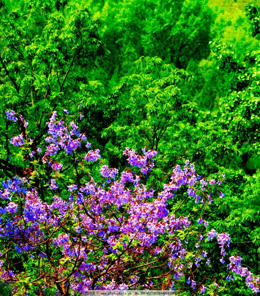 紫花绿树春意浓图片