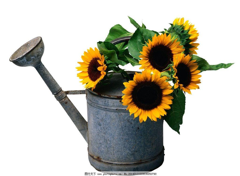 向日葵 洒水壶 破旧 静物 葵花 向阳花 黄色 花卉 花朵 春天 野花