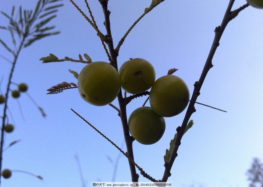 橄榄 橄榄树图片