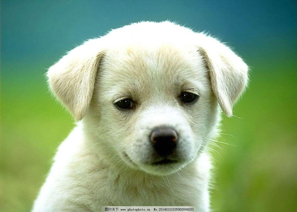 狗 可爱 小动物 犬 狗狗 家禽 宠物狗 家禽家畜 生物世界 摄影 72dpi