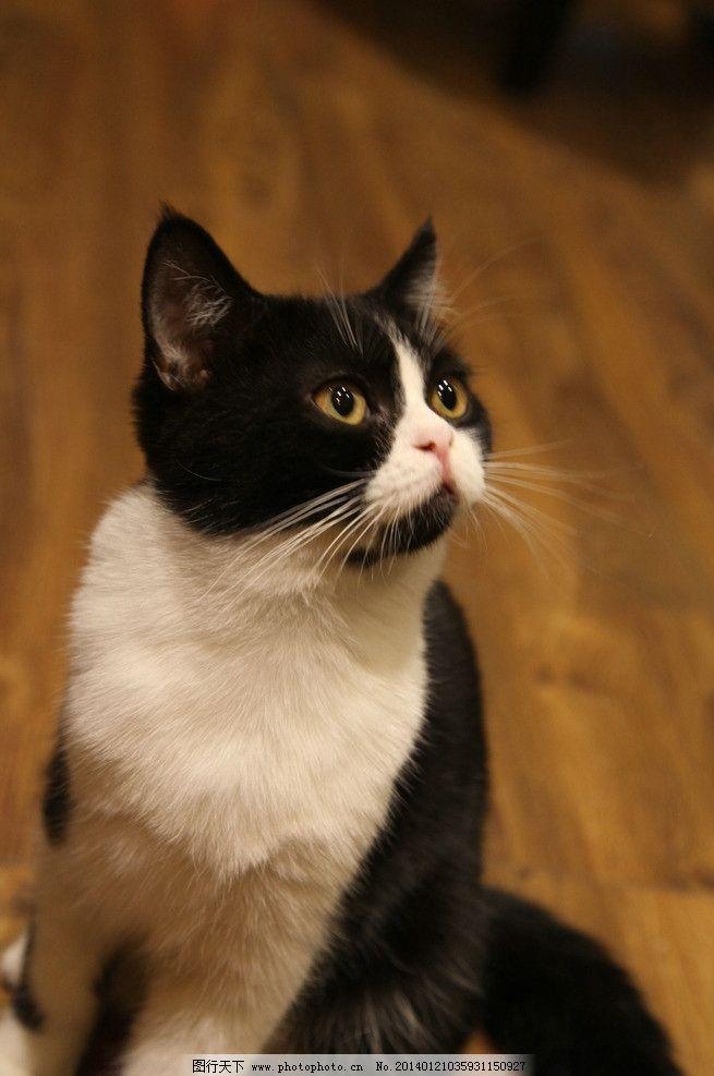 猫咪 宠物 小猫 可爱 黑白 加菲猫 家禽家畜 生物世界 摄影 72dpi jpg
