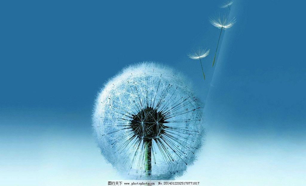 蒲公英 花朵 飞翔 蓝色背景
