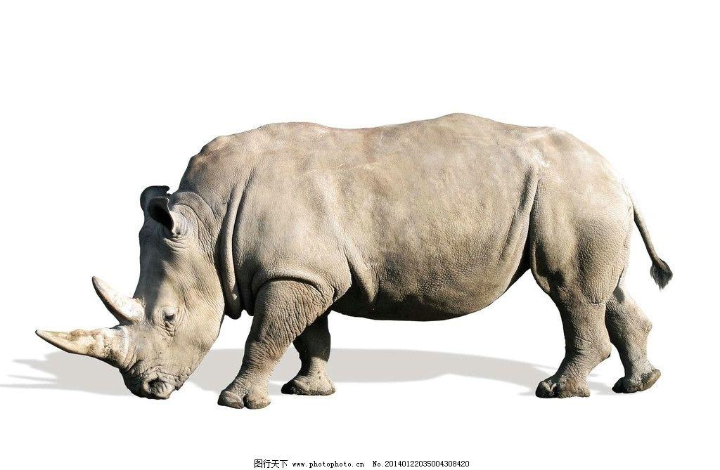 犀牛 野生动物 野生犀牛 濒危野生动物 动物世界 犀牛角 生物世界