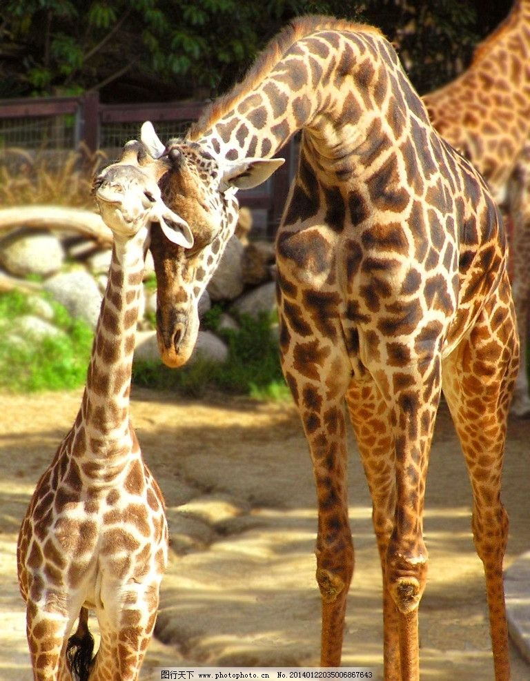 长颈鹿图片_野生动物_生物世界