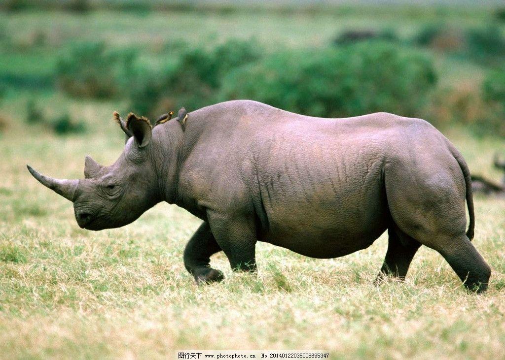 犀牛 野生犀牛 濒危野生动物 非人工驯养 动物世界 犀牛角 摄影