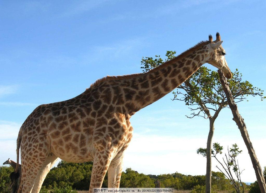长颈鹿 野生长颈鹿 动物 非人工驯养 脊椎动物 食草动物 野生动物
