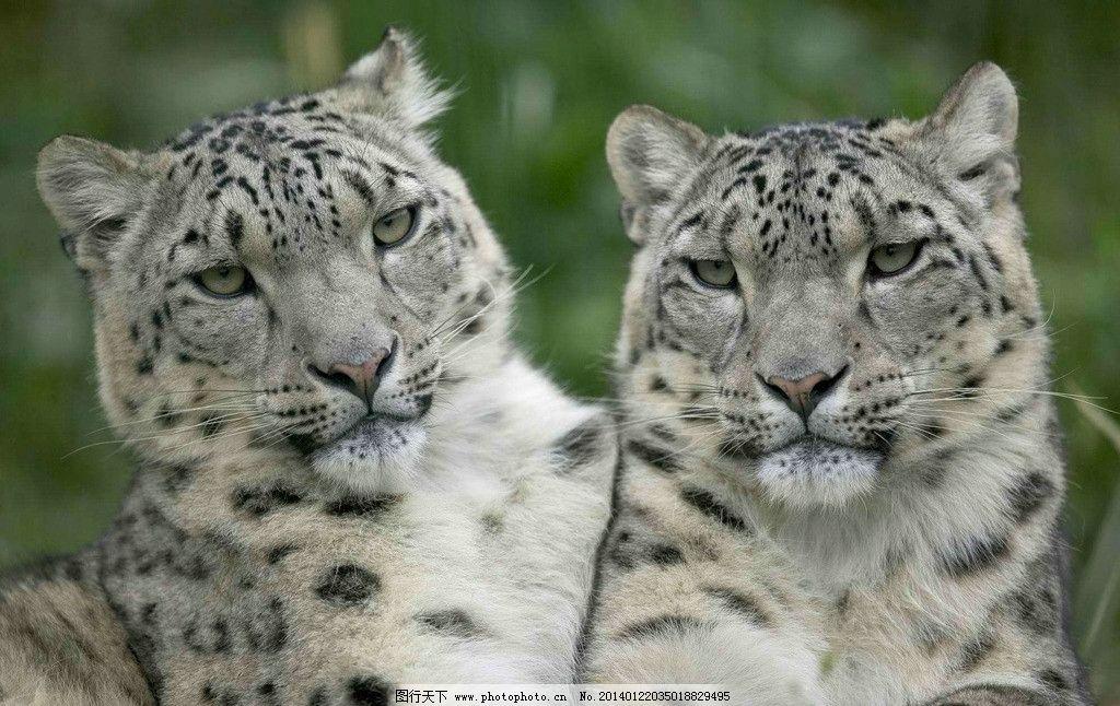 雪豹 豹子 动物世界 猫科动物 濒危野生动物 花斑豹 非人工驯养