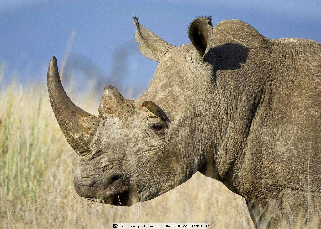犀牛 野生犀牛 野生动物 动物世界 非人工驯养 犀牛角 动物 非洲犀牛
