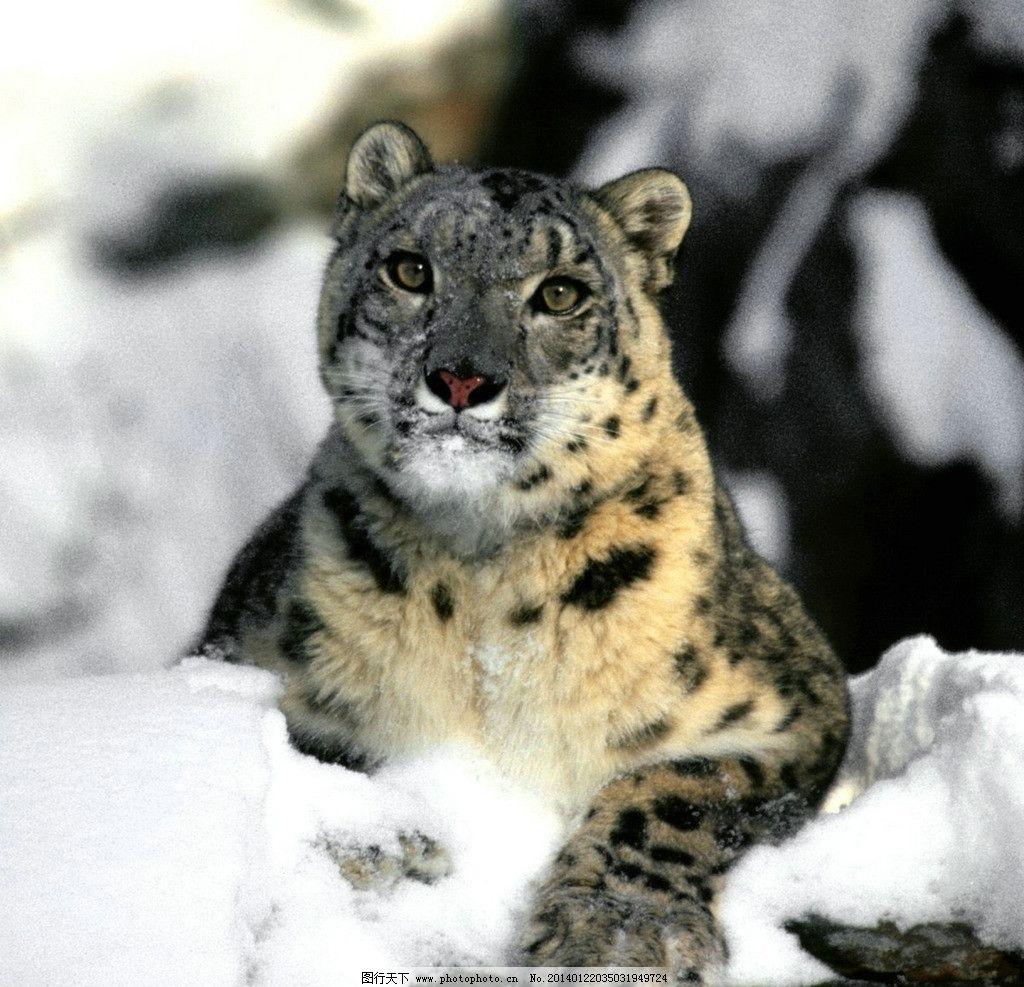 雪豹 动物世界 花斑豹 野生 猫科动物 濒危野生动物 生物世界