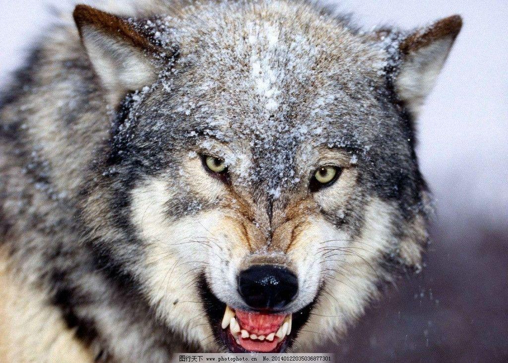 狼 濒危野生动物 非人工驯养 动物 野生动物 脊椎动物 动物世界 wolf