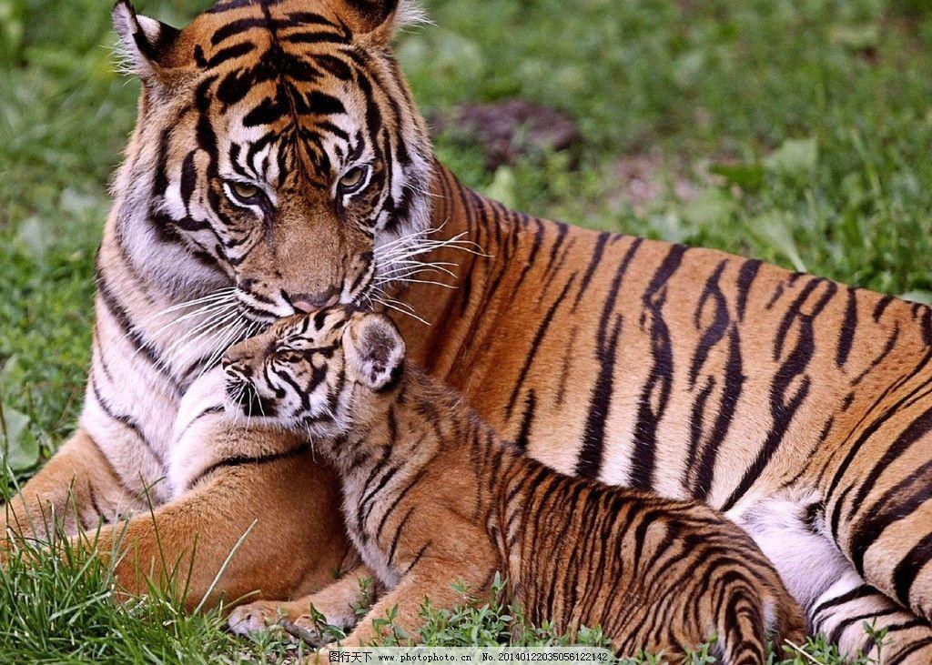 老虎 濒危野生动物 猫科动物 动物世界 野生 东北虎 野生动物 生物