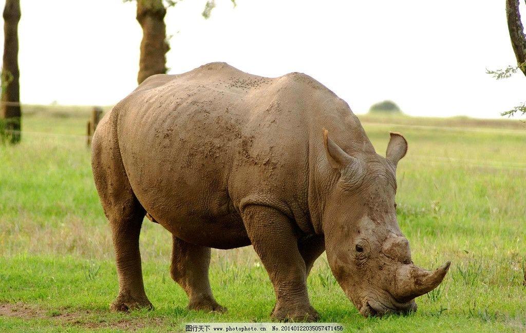 犀牛 非人工驯养 动物 野生动物 动物世界 濒危野生动物 生物世界