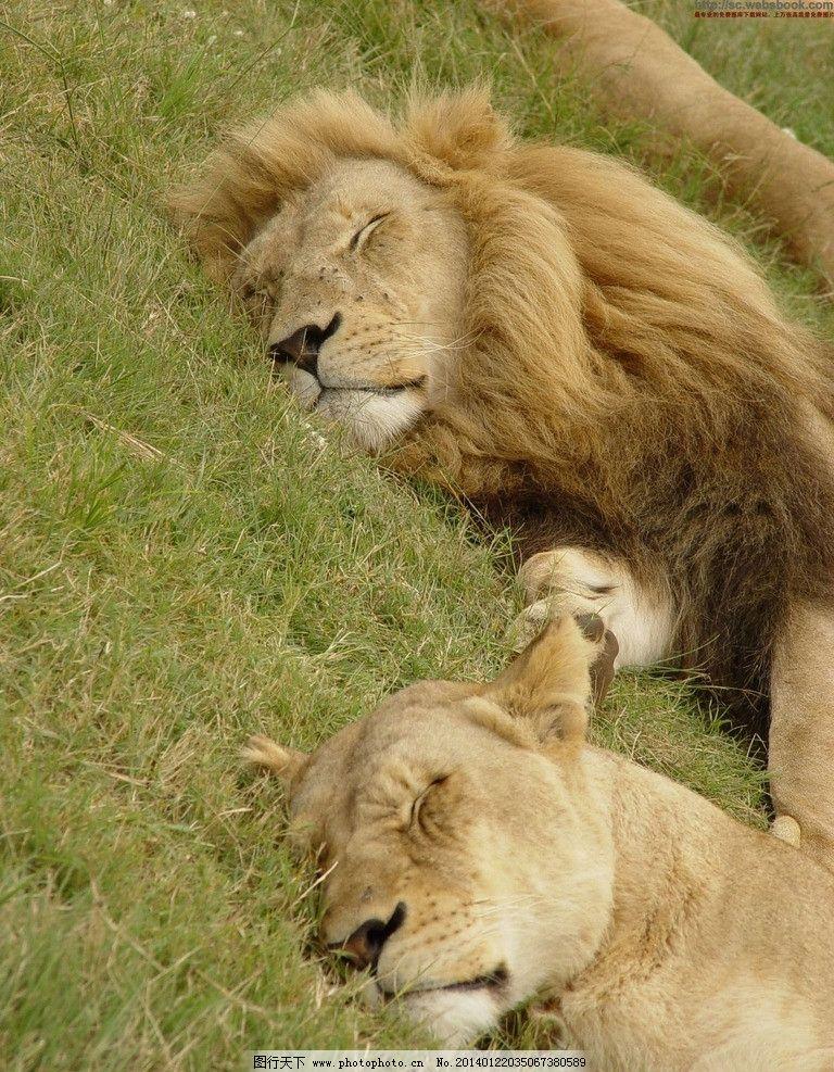 狮子 lion 野生 猫科动物 保护动物 野生动物 生物世界 摄影 96dpi