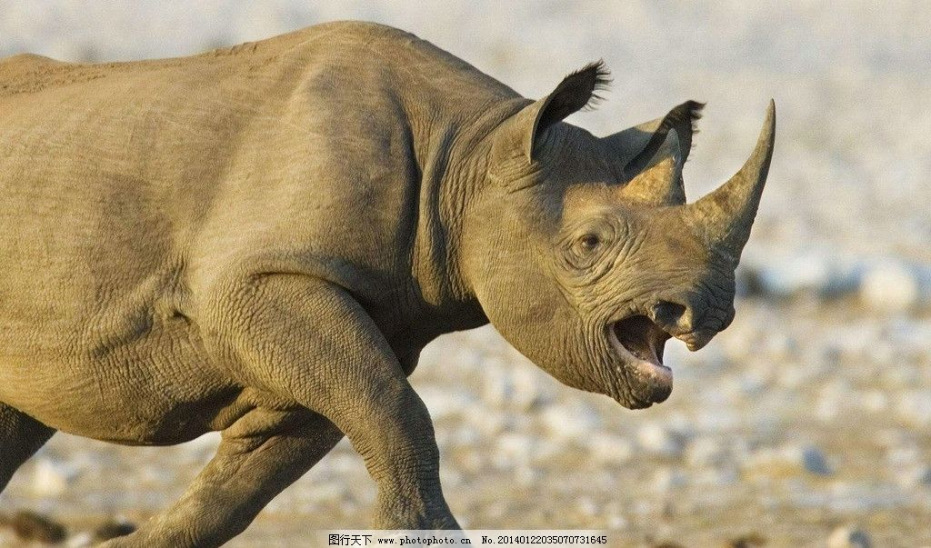 犀牛 动物 濒危野生动物 非洲犀牛 生物世界 摄影