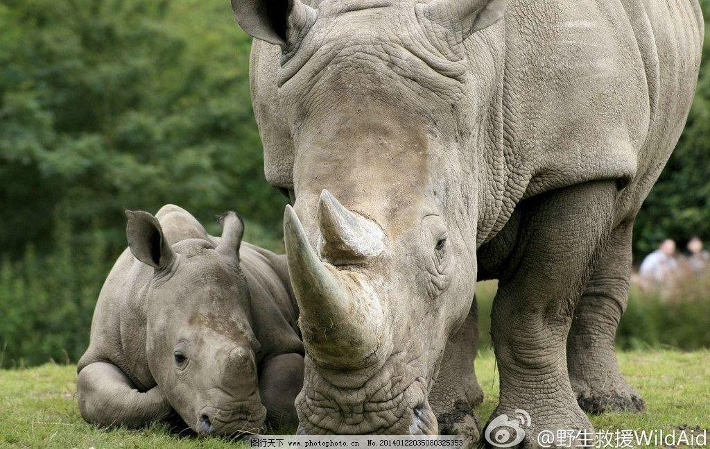 野生犀牛 非人工驯养 野生动物 动物 非洲犀牛 犀牛角 濒危野生动物