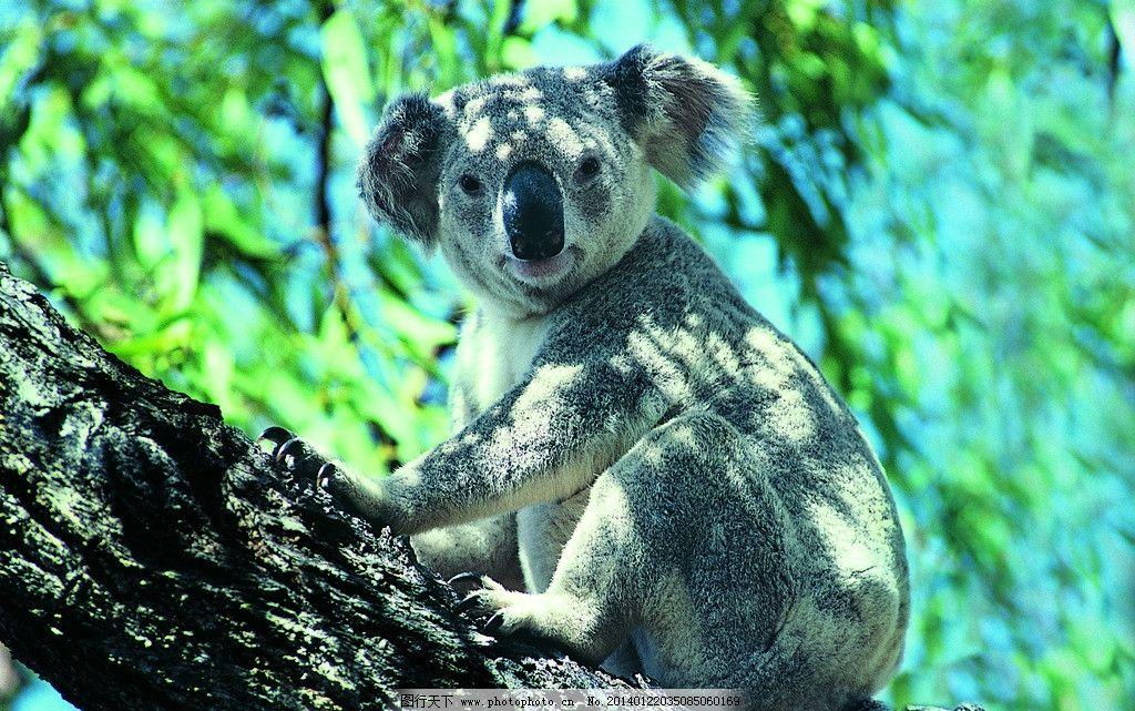 树袋熊 考拉 野生动物 树干 树木 保护动物 可爱 生物世界 摄影