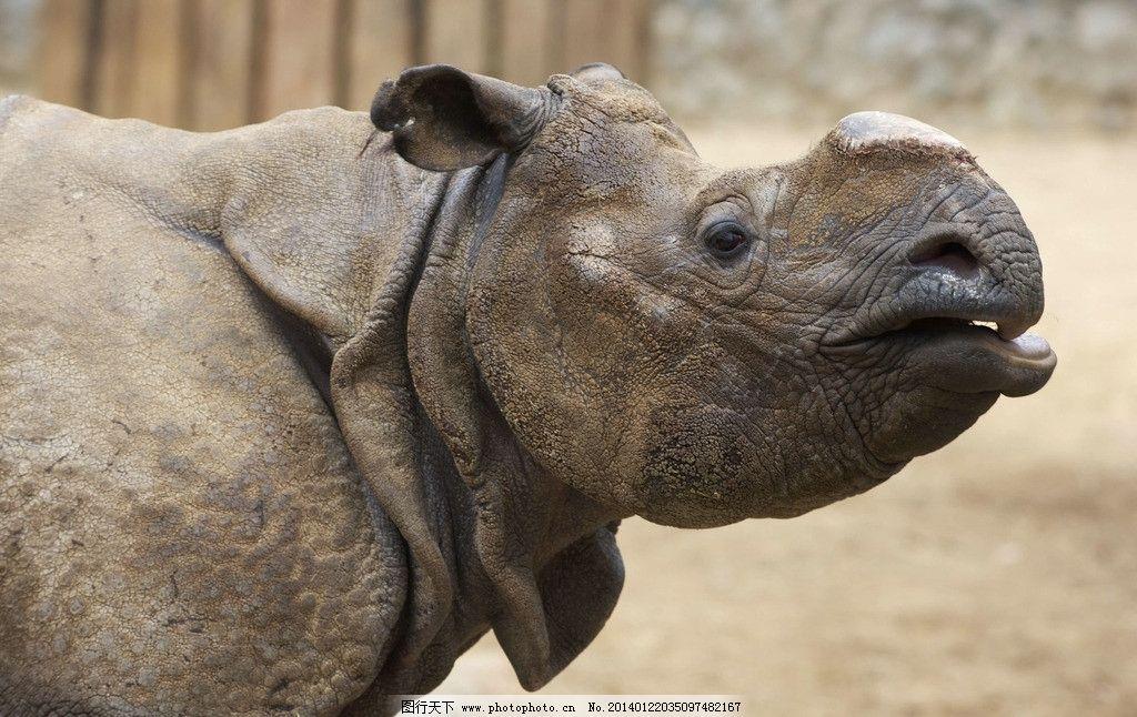 犀牛 濒危野生动物 犀牛角 野生犀牛 动物世界 野生动物 动物 非人工