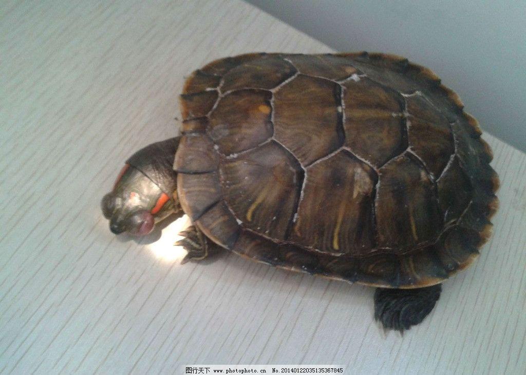 乌龟 非人工驯养 野生动物 野生乌龟 动物世界 濒危野生动物 海洋生物