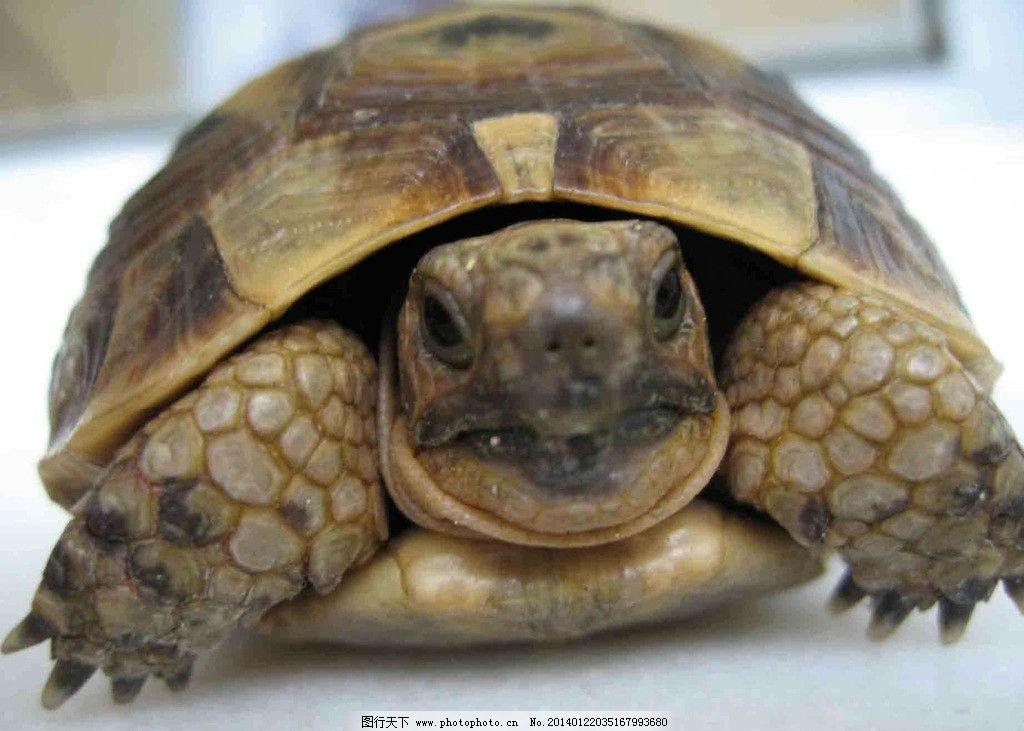 乌龟 濒危野生动物 爬行动物 非人工驯养 动物世界 摄影