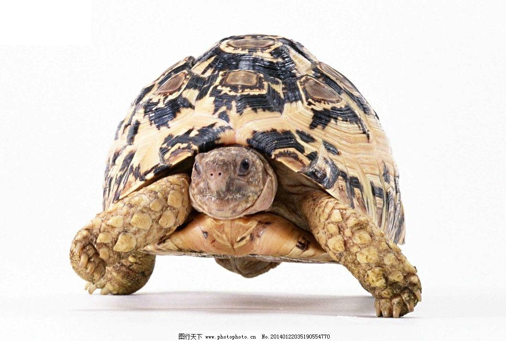 乌龟 非人工驯养 动物世界 野生乌龟 爬行动物 野生动物 海洋生物