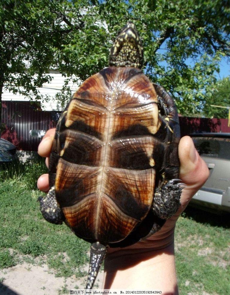 乌龟 爬行动物 濒危野生动物 野生乌龟 非人工驯养 动物世界 海洋生物