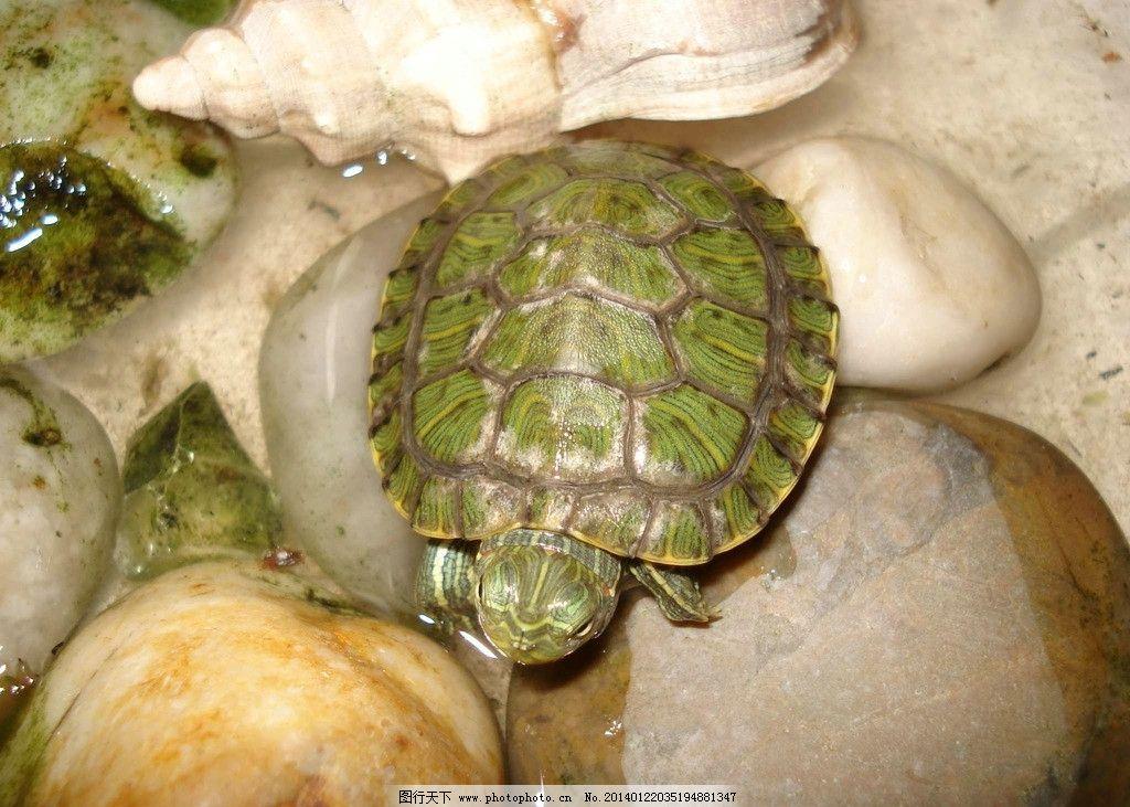 乌龟 濒危野生动物 野生乌龟 爬行动物 动物世界 摄影