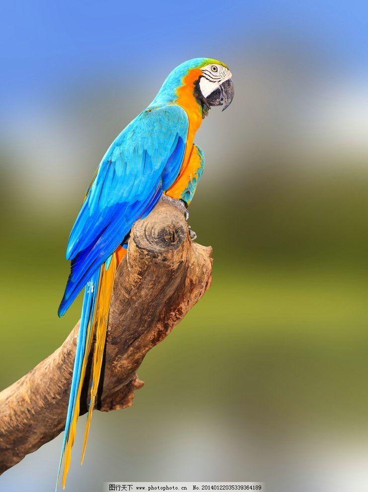 壁纸 动物 鸟 摄影 小鸟 桌面 鹦鹉 740_987 竖版 竖屏 手机
