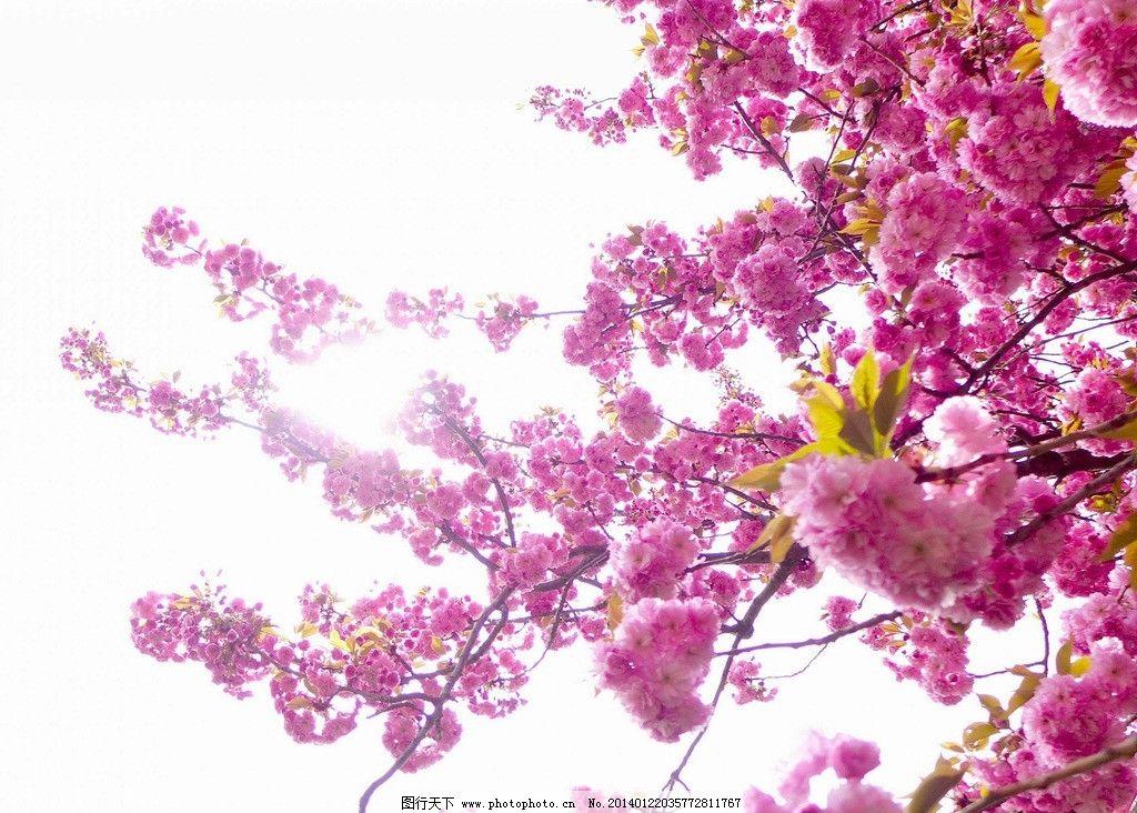 桃花 花瓣 桃树 花 桃花树 花蕊 花草 生物世界 摄影 72dpi jpg