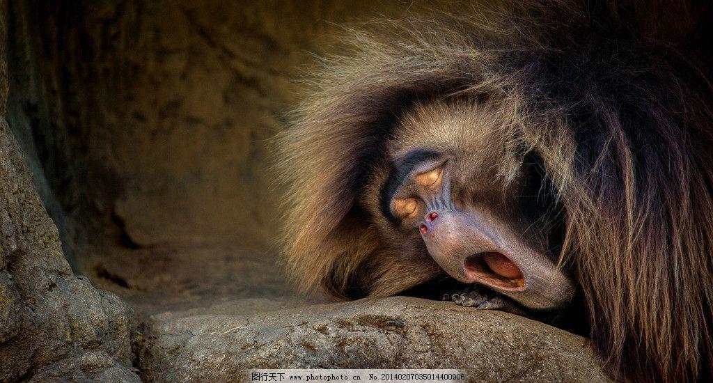 狒狒 动物 睡觉 打哈欠 表情帝 野生动物 生物世界 摄影 72dpi jpg