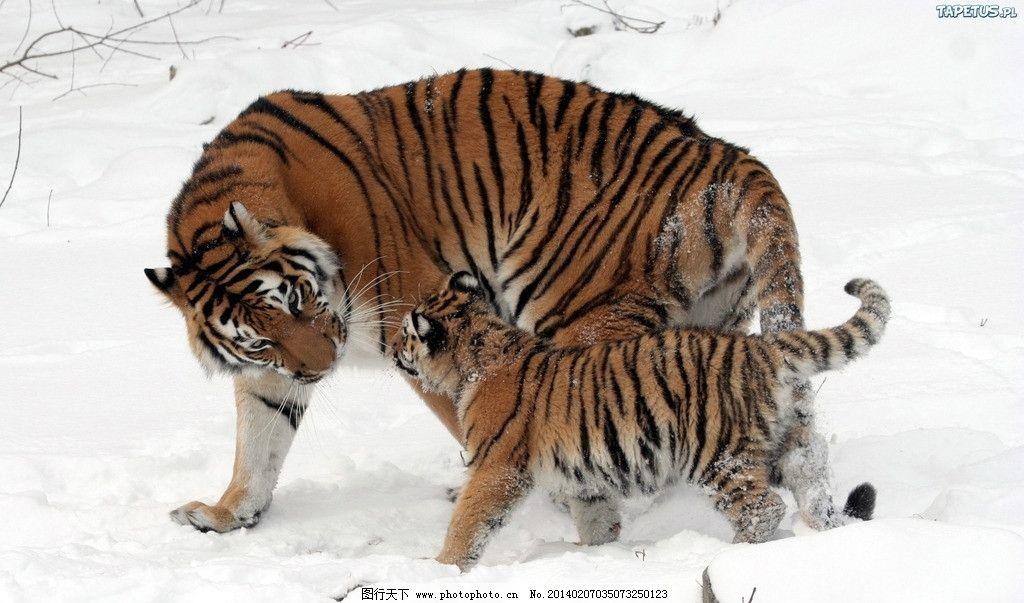 东北虎 哺乳动物 食肉
