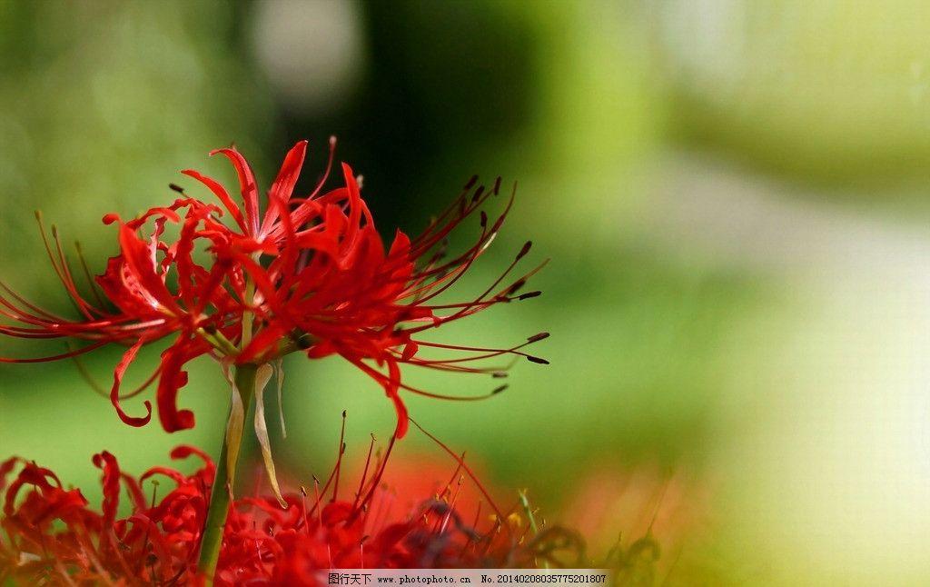红色彼岸花 彼岸花 曼珠沙华 红色花朵 花瓣 红色 唯美花朵 鲜花 花卉