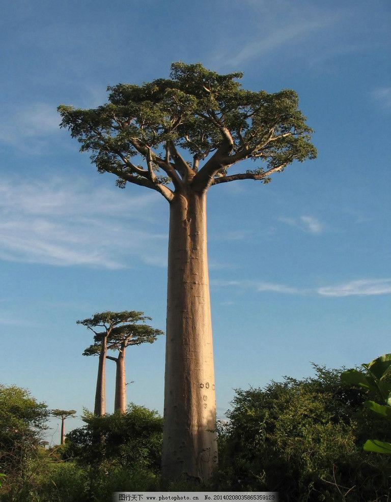 非洲猴面包树图片